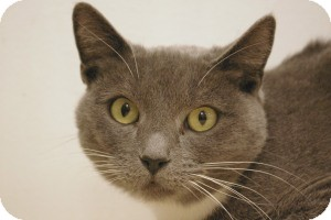 Domestic Shorthair Cat for Sale in Sacramento, California - Claire