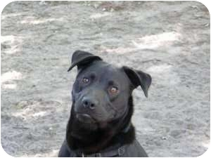 Labrador Retriever/American Pit Bull Terrier Mix Dog for adption in Rocky Mount, North Carolina - Nigel