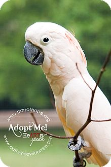 Cockatoo for adoption in Mantua, Ohio - MAX