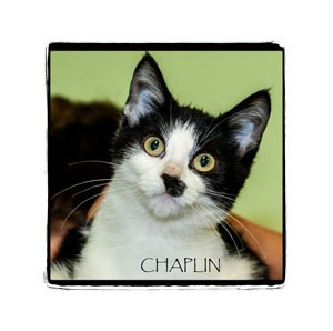 Domestic Shorthair Kitten for Sale in Warren, Pennsylvania - Chaplin
