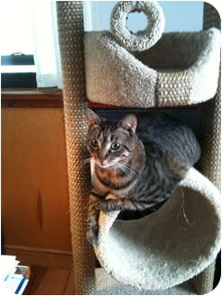American Shorthair Cat for Sale in Brooklyn, New York - Chloe