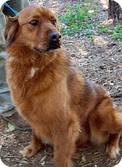 Golden Retriever/Labrador Retriever Mix Dog for Sale in Southern, Maine - Sadie-URGENT