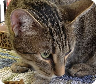 Domestic Shorthair Cat for adoption in Mesa, Arizona - Penelope