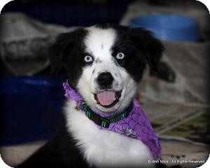 Australian Shepherd/Labrador Retriever Mix Puppy for Sale in Marlton, New Jersey - Haley