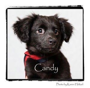 Pomeranian Mix Puppy for Sale in Warren, Pennsylvania - Candy