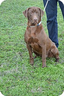 Labrador Retriever/Weimaraner Mix Dog for Sale in Glastonbury, Connecticut - Duncan - new pics!