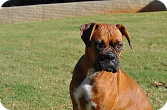 Boxer Dog for Sale in Wilmington, Delaware - Roxy