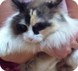 Ragdoll Cat for Sale in Emsdale (Huntsville), Ontario - Fire - Lovebug Ragdoll Cross!