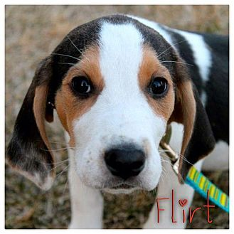 Hound (Unknown Type) Mix Puppy for Sale in Westland, Michigan - Flirt
