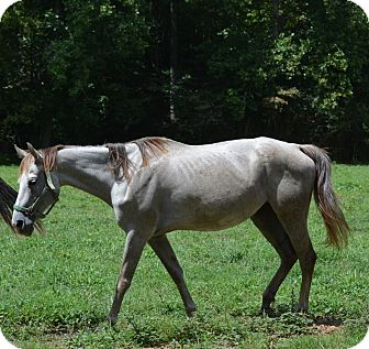 Quarterhorse Mix for Sale in Waleska, Georgia - Ruby