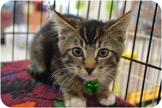 Domestic Mediumhair Kitten for adoption in Chino, California - Cory