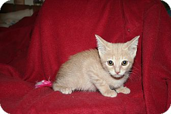 Domestic Shorthair Kitten for Sale in SantaRosa, California - Destiny