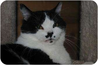 Domestic Shorthair Cat for adoption in Waxhaw, North Carolina - Maggie Moo