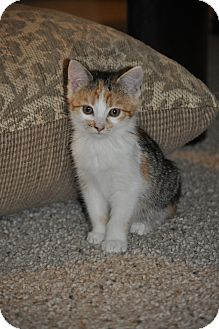 Domestic Shorthair Kitten for Sale in Modesto, California - Sammy