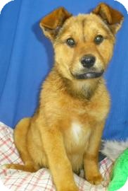 Shepherd (Unknown Type)/Chow Chow Mix Puppy for Sale in Lincolnton, North Carolina - Athena