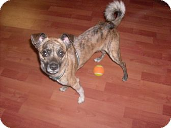 Border Terrier/Pug Mix Dog for Sale in Phoenix, Arizona - Louie - Only $25 adoption fee!