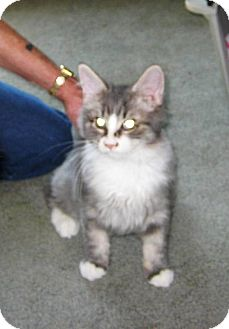 Domestic Longhair Kitten for Sale in Kirkwood, Delaware - Beau