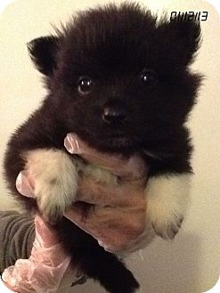 Pomeranian Puppy for Sale in Springfield, Virginia - Sylvie Paw-Paw