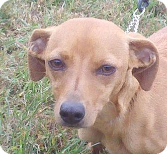 Dachshund Mix Dog for Sale in Washington, D.C. - Sophia ($75 off)