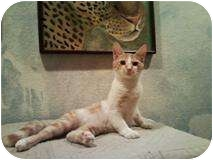 Domestic Shorthair Kitten for adoption in Mesa, Arizona - Johnny