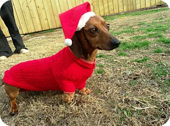 Dachshund Dog for Sale in Gadsden, Alabama - Paco