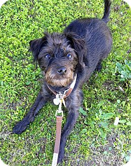 Terrier (Unknown Type, Small)/Scottie, Scottish Terrier Mix Dog for Sale in Bellflower, California - Dodger