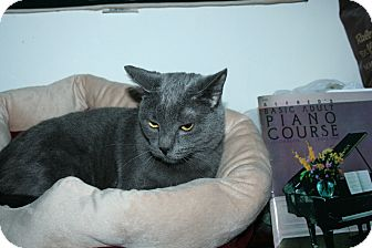 Russian Blue Cat for adoption in SantaRosa, California - Teddy
