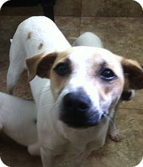 American Bulldog/Jack Russell Terrier Mix Dog for adption in Homestead ...