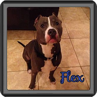 American Pit Bull Terrier Dog for adption in Spring, Texas - Flex