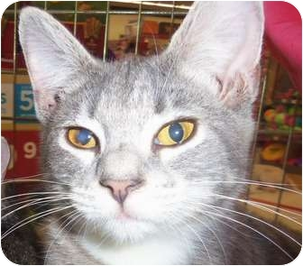 Domestic Shorthair Cat for adoption in Orlando, Florida - Willow