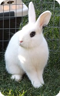 Dwarf Hotot for Sale in Santee, California - Prissy