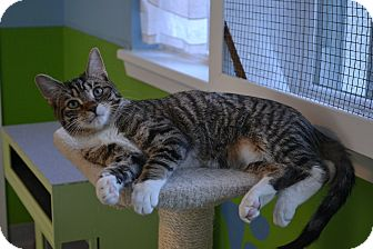 Domestic Shorthair Kitten for adoption in Oyster Bay, New York - Becker
