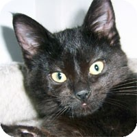 Domestic Shorthair Kitten for Sale in Alameda, California - RUE