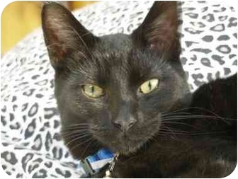 Domestic Shorthair Cat for adoption in Toronto, Ontario - Sam