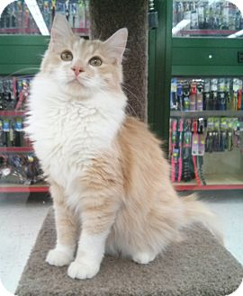 Domestic Longhair Cat for Sale in Phoenix, Arizona - Katy