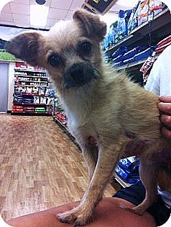 Terrier (Unknown Type, Small)/Chihuahua Mix Dog for adption in Studio City, California - Barney