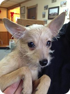 Yorkie, Yorkshire Terrier/Chihuahua Mix Dog for Sale in Stilwell, Oklahoma - Ariel