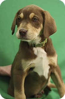 Shepherd (Unknown Type)/Labrador Retriever Mix Puppy for Sale in Broomfield, Colorado - Keebler
