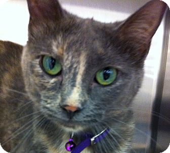 Domestic Shorthair Cat for adoption in Kansas City, Missouri - Wobbles