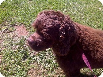 Cockapoo Mix Dog for Sale in Raleigh, North Carolina - Hershey Bear