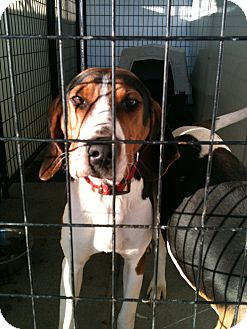 Treeing Walker Coonhound Mix Dog for Sale in Yuba City, California - 02/20 Unnamed