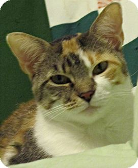 Calico Cat for Sale in Seminole, Florida - Samantha