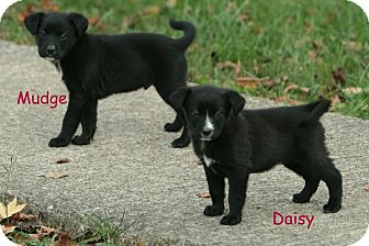 Labrador Retriever Mix Puppy for Sale in Danbury, Connecticut - Daisy