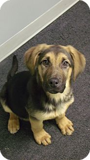 German Shepherd Dog/Coonhound (Unknown Type) Mix Puppy for Sale in Muskegon, Michigan - Dixie