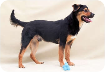 Shepherd (Unknown Type) Mix Dog for Sale in Greensboro, North Carolina - Cupid