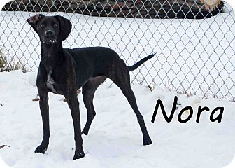 Greyhound Mix Dog for Sale in Hamilton, Montana - nora