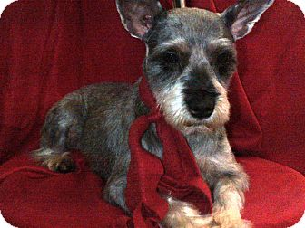 Schnauzer (Miniature) Dog for Sale in Hazard, Kentucky - Parker