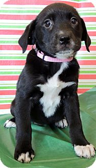 Labrador Retriever/Rottweiler Mix Puppy for Sale in Thousand Oaks, California - Carol