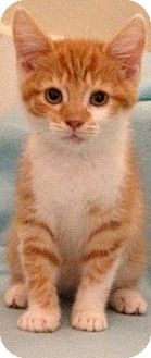 Manx Kitten for Sale in Simpsonville, South Carolina - Hilton
