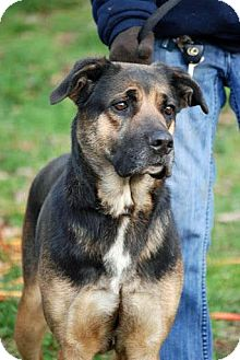 Shepherd (Unknown Type) Mix Dog for Sale in Tinton Falls, New Jersey - Gilly